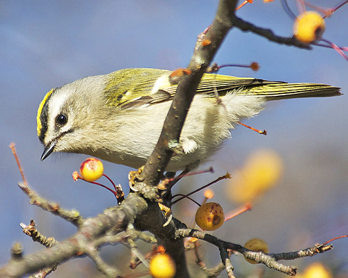 Golden-crowned Kinglet | by Dave W.