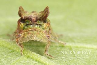 Flat-headed leafhopper (cf. Ledra sp.) - IMG_7123