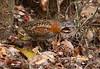 Madagascar Buttonquail (Turnix nigricollis) by macronyx
