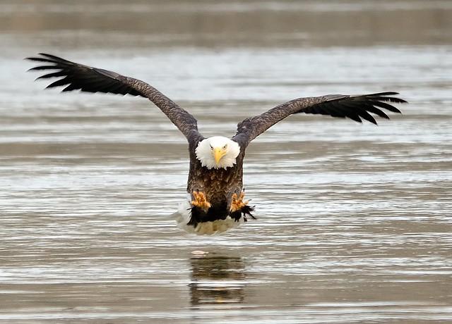 Down by the River ~ Bald Eagle, Conowingo Md. Explored 11/27/12!
