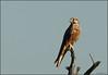 Laggar Falcon by ....Nishant Shah....