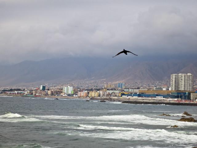Cormorant over Antofagasta