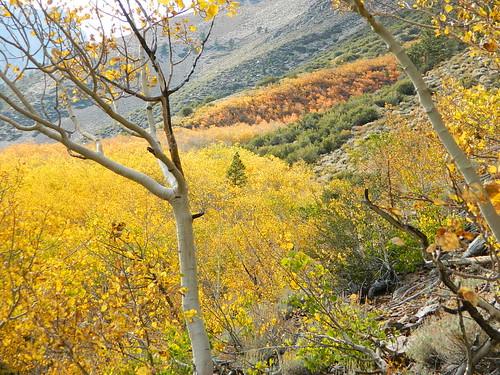 Autumn Aspens in California