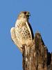 Madagascar Kestrel (Falco newtoni) by David Cook Wildlife Photography