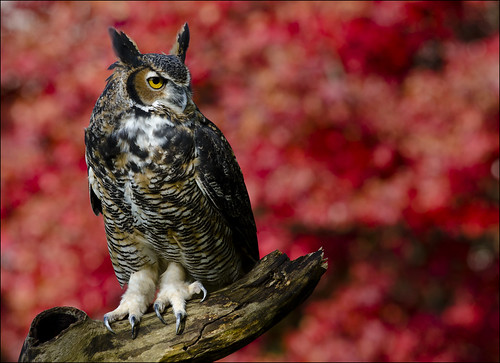 Great Horned Owl 13 [Explored] | by Jen St. Louis