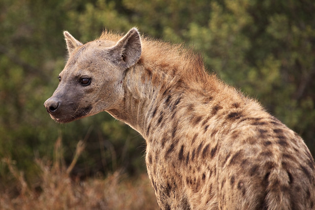 Next: Spotted Hyena