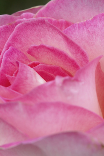Pink rose | by Peter_Australis