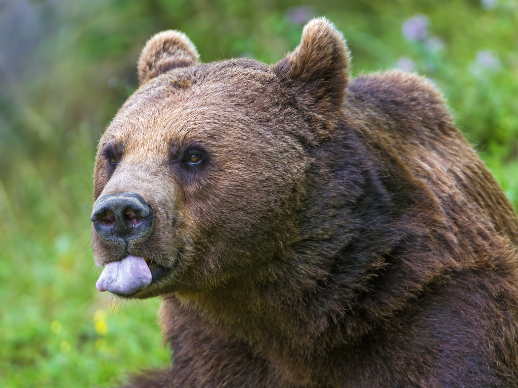 Image result for brown bear