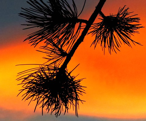 branch evergreen colorado jeffersoncounty branches evening silhouette puestadelsol atardecer sandraleidholdt sunset coucherdesoleil tree dusk