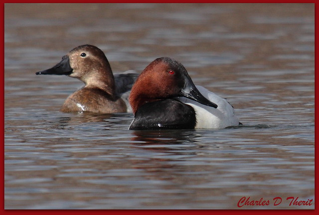 Male and Female Canvasback