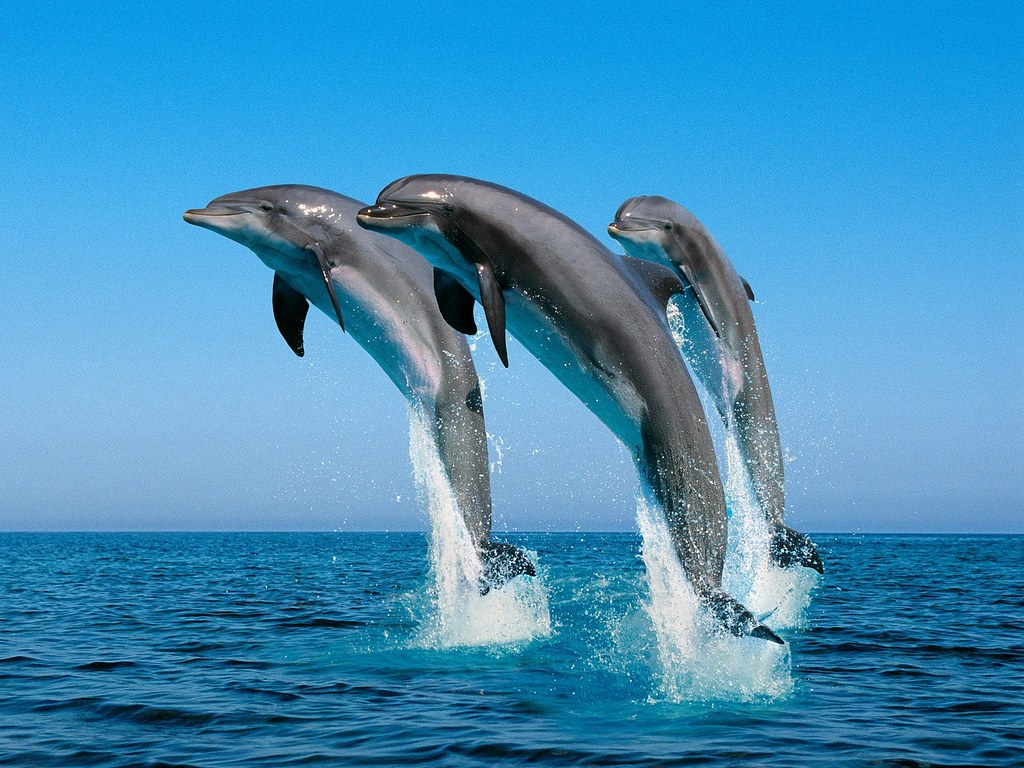 Image result for dolphins jumping free images