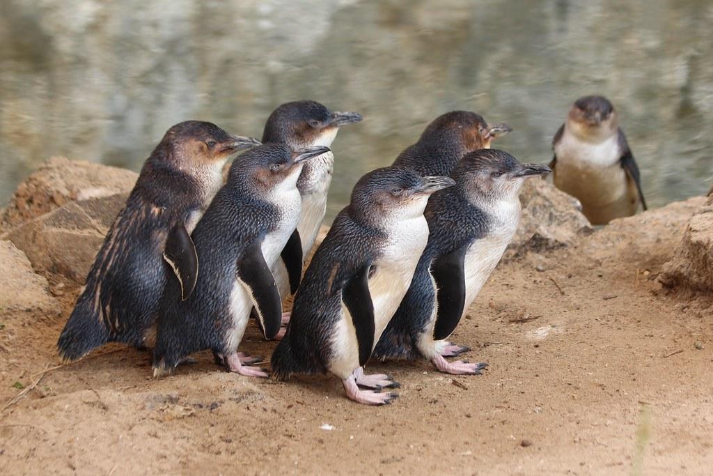 Eudyptula minor (Little Penguin; Fairy Penguin)