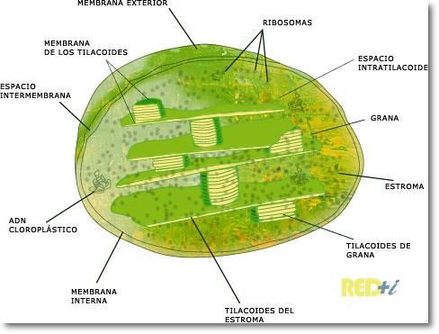 Estructura De Un Cloroplasto En La Célula Vegetal