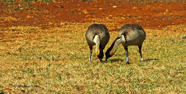 Nene Grazing ~ Kilauea Point National Wildlife Refuge, Kauai