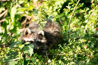 Racoon in a Tree   by haslo