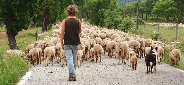 Le berger, son chien et ses 3000 bêtes