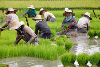 The rice harvest in Nueva Vizcaya, Philippines   by ILO in Asia and the Pacific