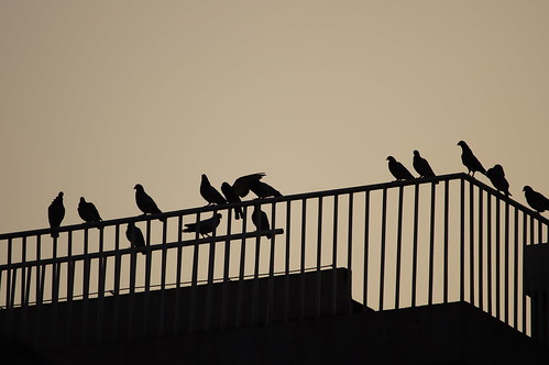 life china sunset shadow bird animal silhouette dusk pigeon beijing 北京 中国 herd 日落 影子 动物 剪影 黄昏 暮色 鸽子 鸟 群 侧影