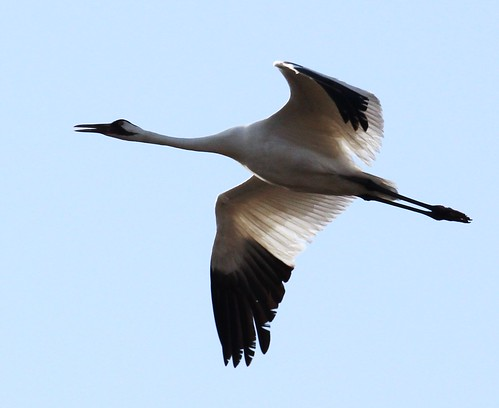 Whooping Crane | by tombenson76