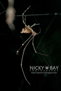 Comb-Footed Spider (Rhomphaea sp.) - DSC_1490