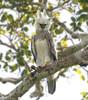Peru: Harpy Eagle by spiderhunters