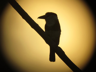 Guianan Puffbird at sunset