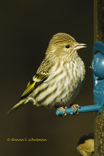 Prospect Park: Pine Siskin Enjoying Feeders | by donna lynn