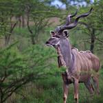Kudu Elegance