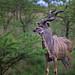 Image: Kudu Elegance