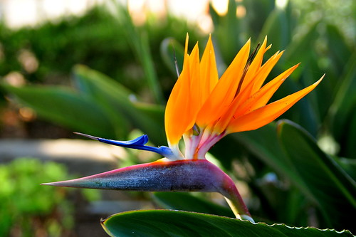 bird of paradise | by pearlsandprose