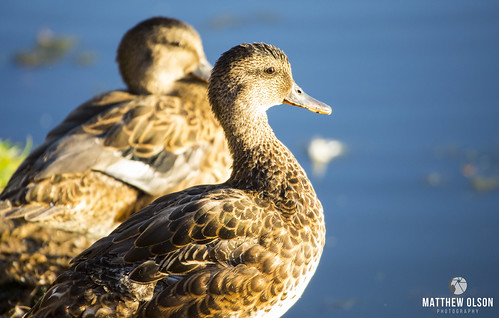 gadwall bird birdwatching ducks sunrise wildlife animal duck