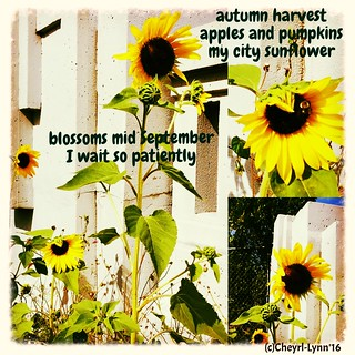 sunflowers 2016