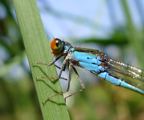 Head detail.  Pseudagrion rubriceps | by gailhampshire