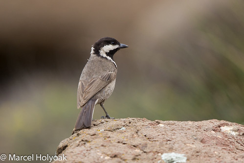 Gray Tit (Melaniparus afer), Sani Pass, LS, 2012-12-06-  (62 of 62).jpg | by maholyoak