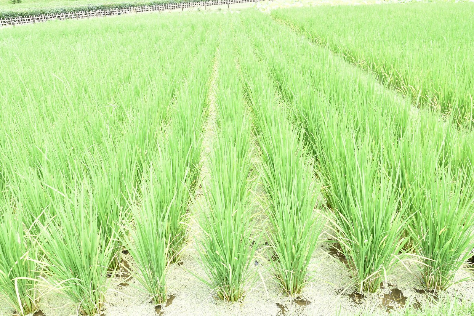 Jardins de Kôraku-en - rizière