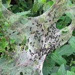 Raupen des Tagpfauenauges (Aglais io) in der Walsumer Rheinaue
