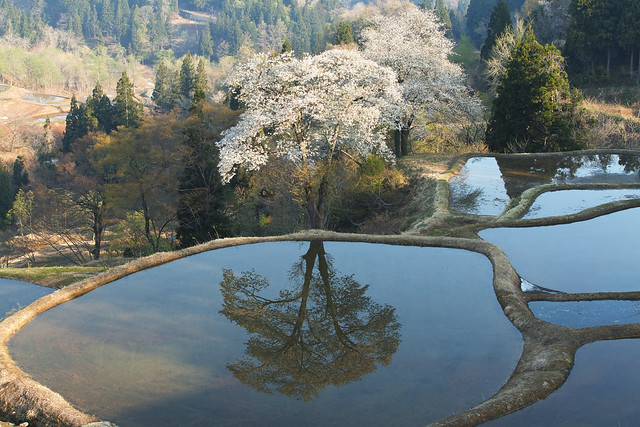 reflection cherry tree