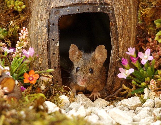 George the mouse in a log pile house 6 aug (3)