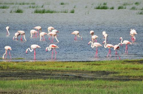 flamingos-serengeti | by quirkytravelguy