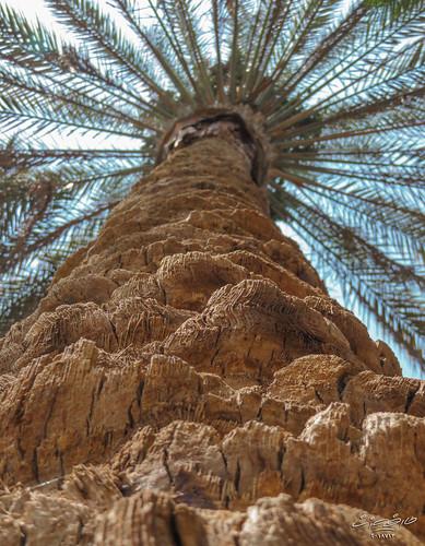 نخلة حديقة الميريلاند مصر الجديدة القاهرة cairo garden palm