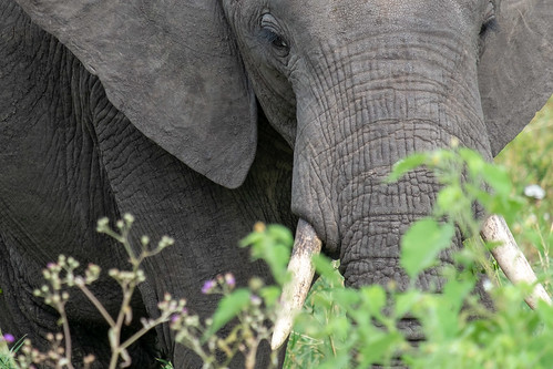 Elephant in the grass | by Laura Jacobsen