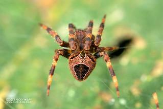 Orb weaver spider (cf. Neoscona sp.) - DSC_6855 | by nickybay