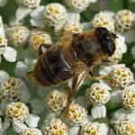 Gemeine Keilfleckschwebfliege (Tapered Drone Fly, Eristalis pertinax), Weibchen
