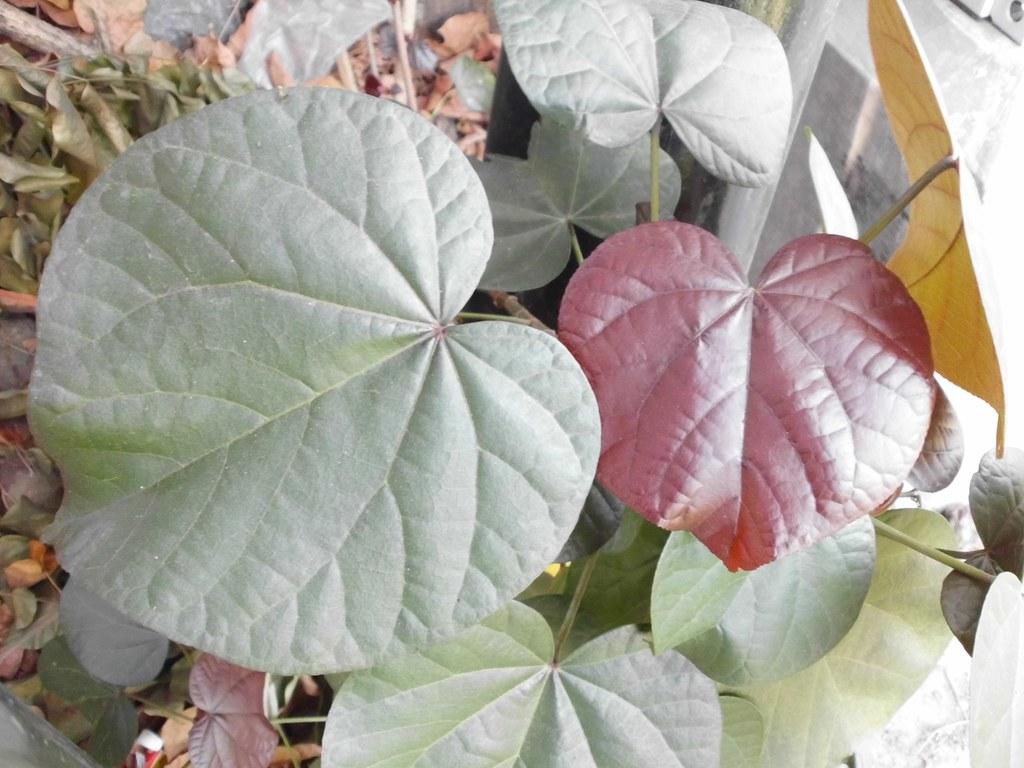 Waru Merah Waru Abang Waru Merah Red Leaf Cottonwood Hi Flickr