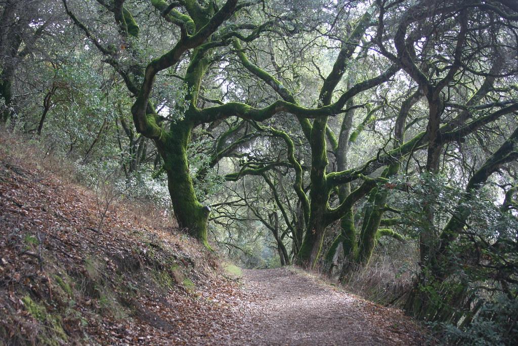 Coast Live Oak Forest