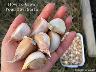 How to grow garlic (1) - save your biggest cloves for planting next year's crop - FarmgirlFare.com | by Farmgirl Susan