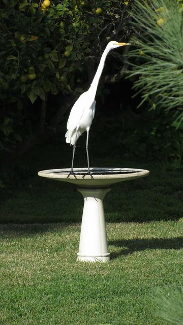 IMG_4987 great egret birdbath