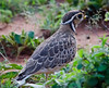 Three-banded Courser (Heuglin's) by pinebird