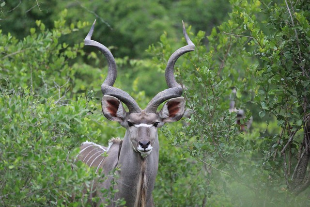 A watchful male Kudu - Sabi Sands, South Africa, 2012.
