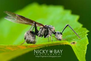 Ant (Polyrhachis sp.) - DSC_0784